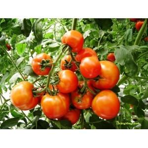 Chăm sóc cây cà chua bi cho ra quả quanh năm và không bị bệnh