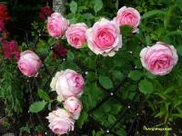 Cách chăm sóc hoa hồng leo đơn giản hiệu quả nhất