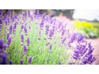 Hướng dẩn trồng hoa oải hương ( lavender ) từ hạt