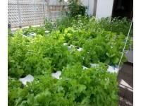 Hướng dẫn trồng hạt giống rau sạch tại nhà