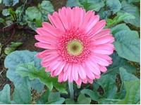 Kỹ thuật trồng hoa đồng tiền quanh năm