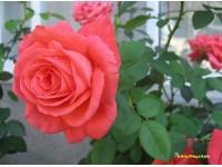 Trồng hoa hồng tỉ muội dành cho những ai chưa biết