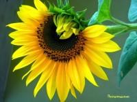 Cách trồng và chăm sóc hoa hướng dương ( kỹ Thuật trồng)