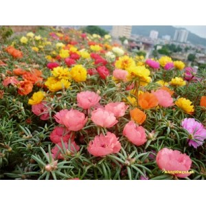 Kỹ thuật trồng hoa mười giờ dành cho ai yêu hoa