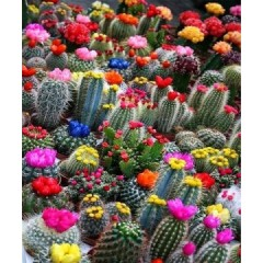 Xương Rồng mix (Cactus)