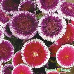Hoa cúc astra luna hổn hợp