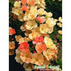 Hoa iberis cream
