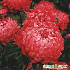 Hoa cúc astra đỏ