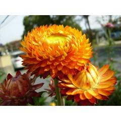 Hoa cúc bất tử cam
