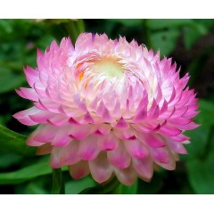 Hoa Cúc Bất Tử Hồng