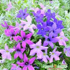 Hổn hợp hoa dã yên thảo ngôi sao f1