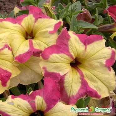Dã yên thảo petunia f1
