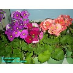 Hổn hợp hoa anh thảo primrose f1