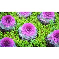 Hạt giống bắp cải hoa hồng osaka f1