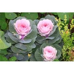 Hổn hợp bắp cải hoa hồng