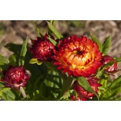 Hạt giống hoa cúc bất tử đỏ