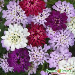 Hổn hợp hoa iberis confetti
