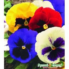 Hỗn hợp hoa viola giants thụy điển