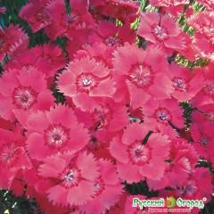 Hỗn hợp hoa cẩm chướng moulin rouge
