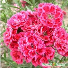 Hoa cẩm chướng snezana f1