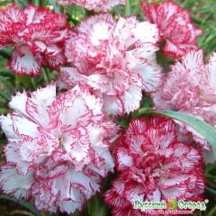 Hổn hợp hoa cẩm chướng kép thơm