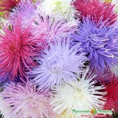 Hoa cúc astra hổn hợp độc quyền