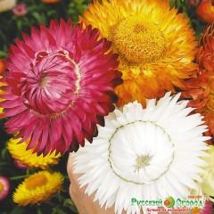 Hổn hợp hoa cúc bất tử