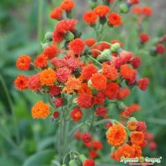Hoa cúc emiia
