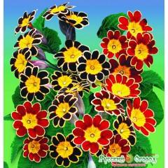 Hổn hợp hoa cúc ren f1