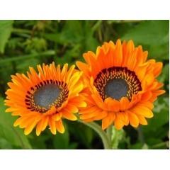 Hạt giống hoa đồng tiền cam