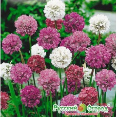 Hỗn hợp hoa armeria