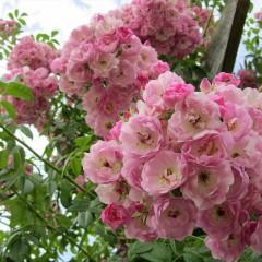 Hoa hồng mini