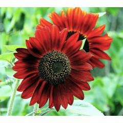 Hoa hướng dương đỏ
