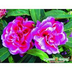 Hổn hợp hoa móng tay