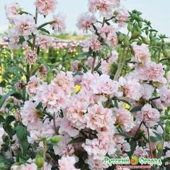 Hoa sakura lùn