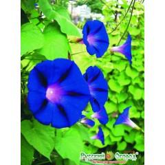 Hoa bìm bịp blue star