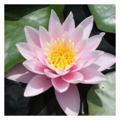 Hoa sen hồng hoàng đế