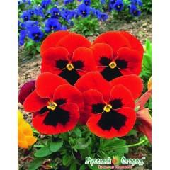 Hoa viola đỏ