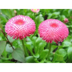 Hoa cúc bellis tasso