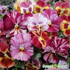 Hỗn hợp hoa viola romeo và juliet