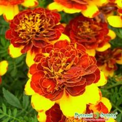 Hoa cúc vạn thọ providence