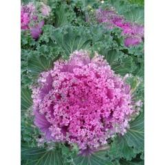Hổn hợp hoa bắp cải ren jabot f1