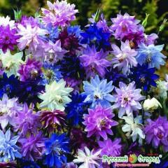 Hoa bồ câu mix