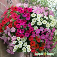 """Hổn hợp hoa dã yên thảo f1 """" siêu bông"""