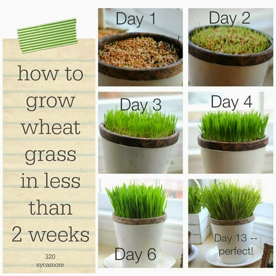 how to grow wheat grass in less than 2 weeks[8].jpg